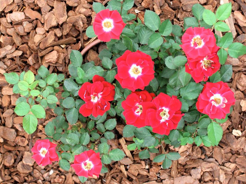 Rosa-chinensis