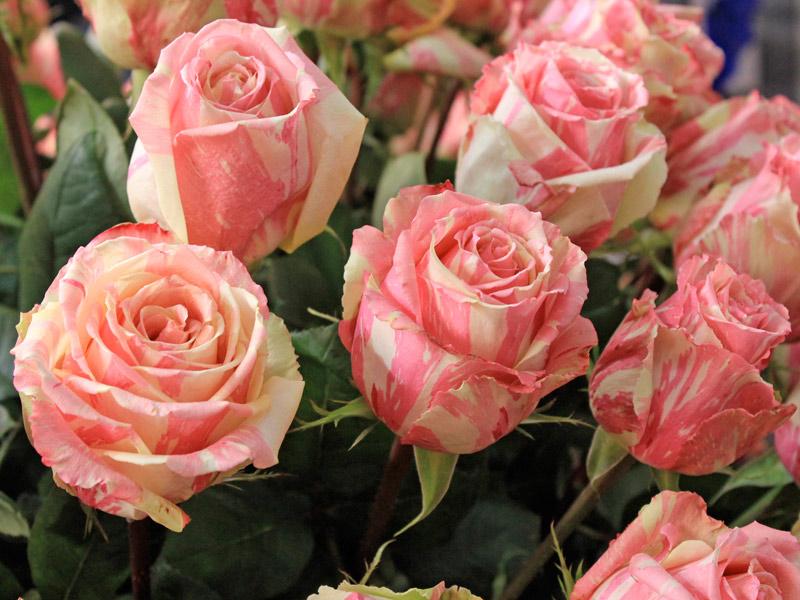 Como podar corretamente as roseiras