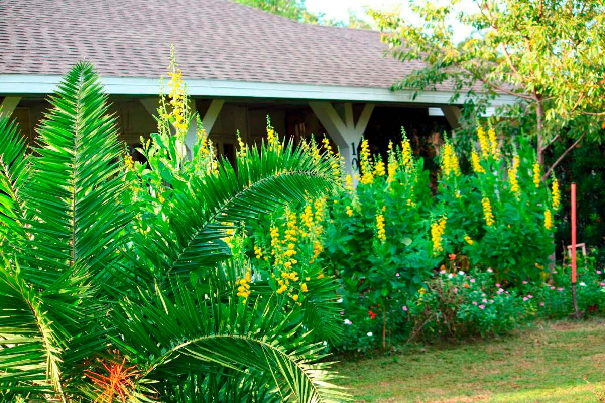 Uso da planta Crotalária no combate à dengue