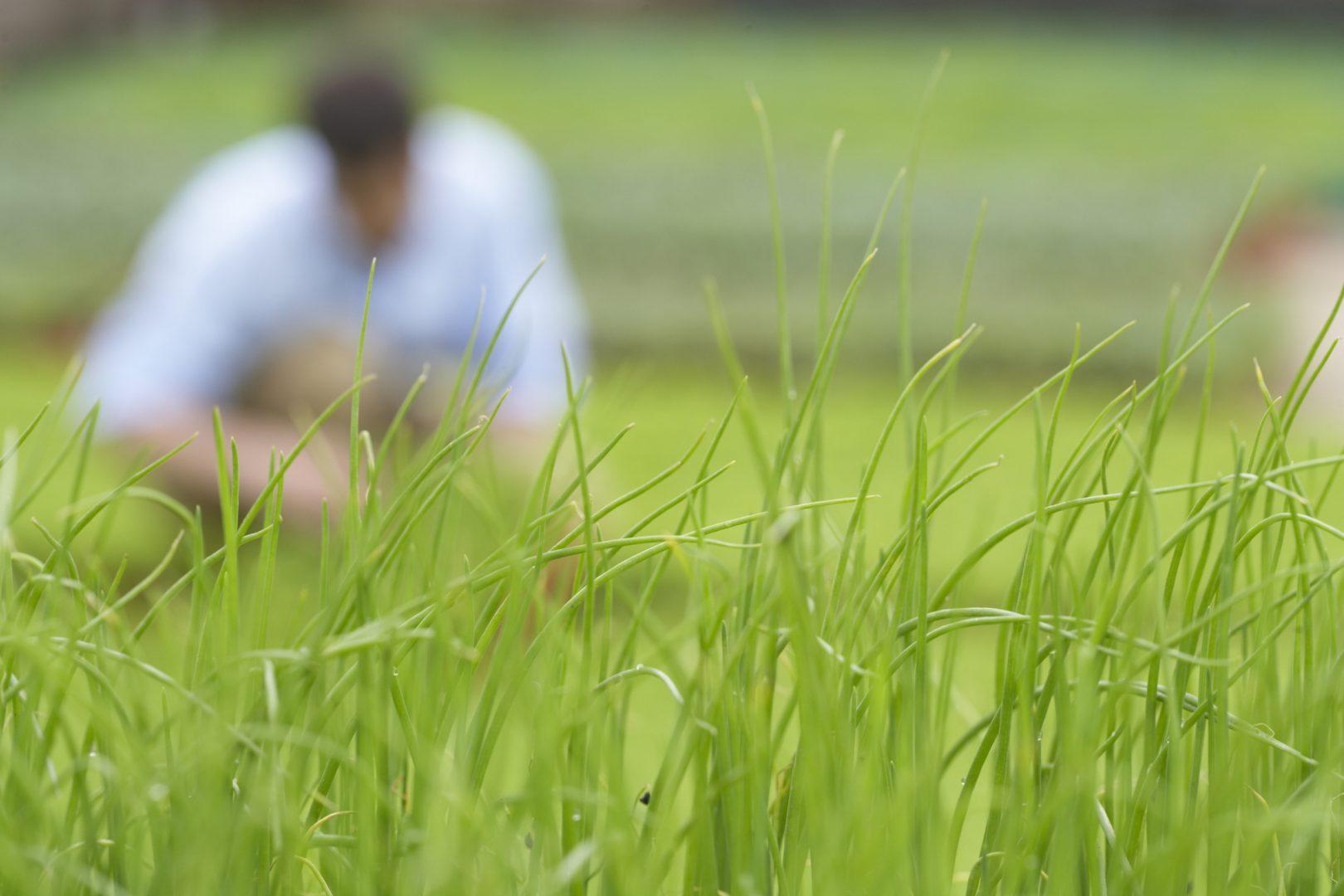 Como acabar com a tiririca da grama?