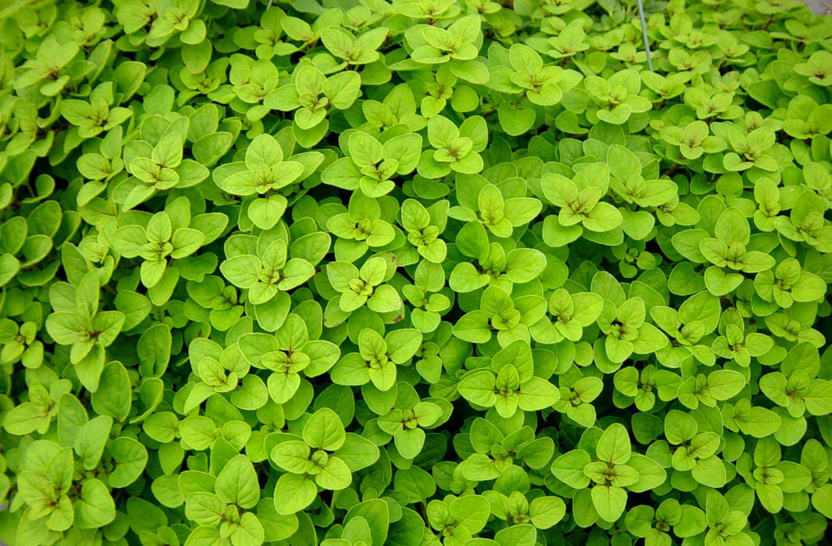 cultivar orégano