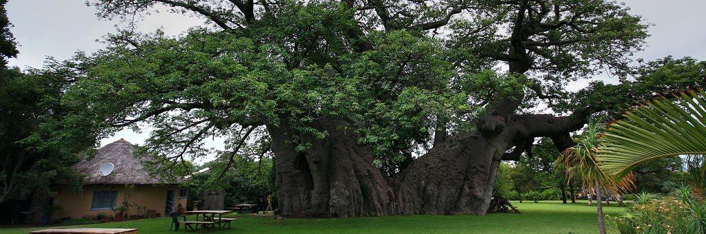 Baobá gigante tem bar para 60 pessoas em seu interior