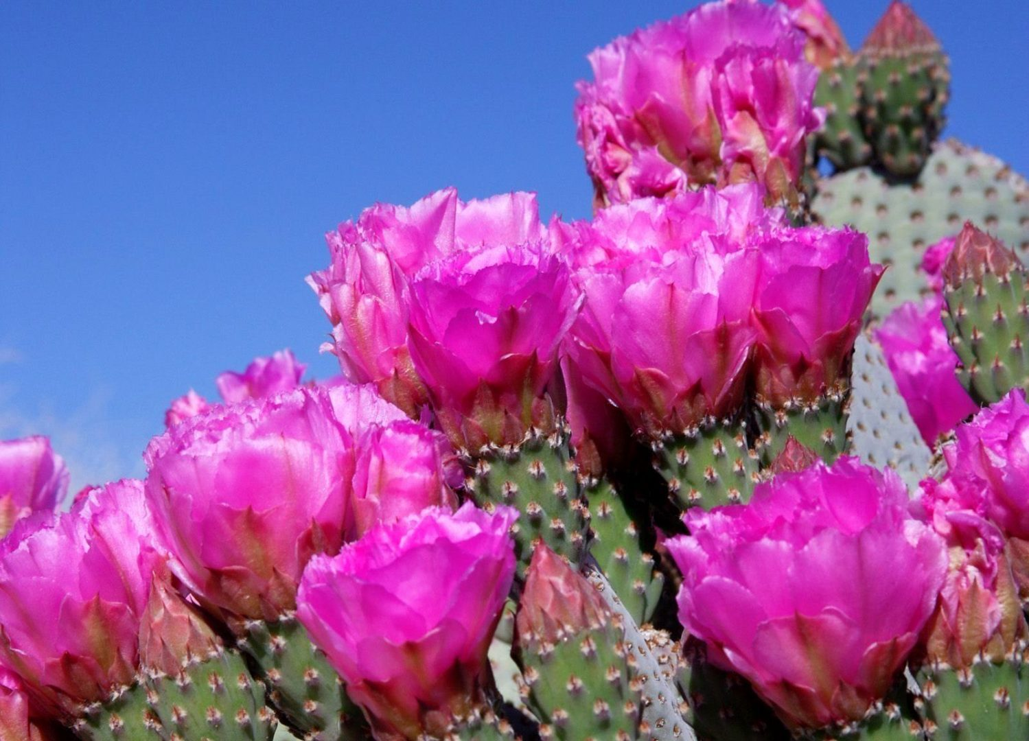Cactos floridos – Aprenda a cuidar de espécies que surpreendem pela beleza da florada