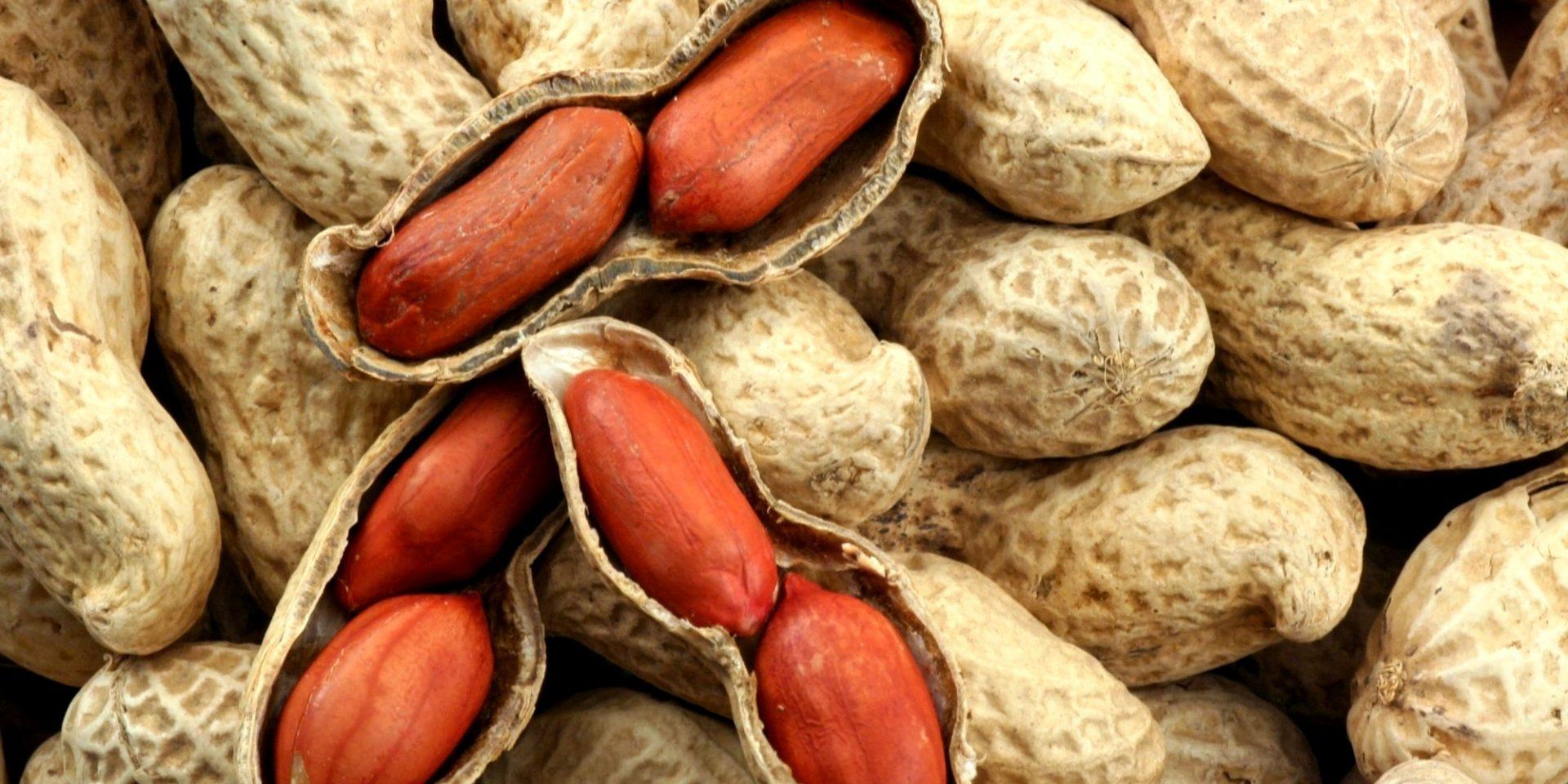 Obtenha sucesso no cultivo de amendoim