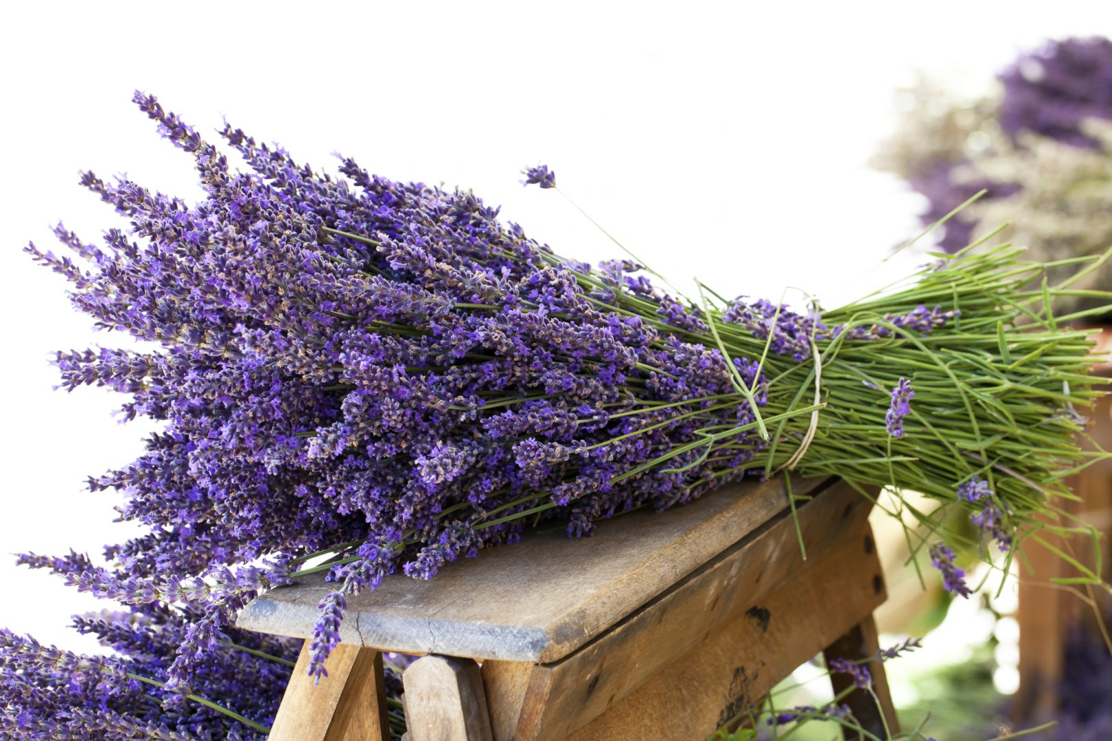 Como plantar e cultivar a apaixonante lavanda blog plantei - Cuidados planta lavanda ...