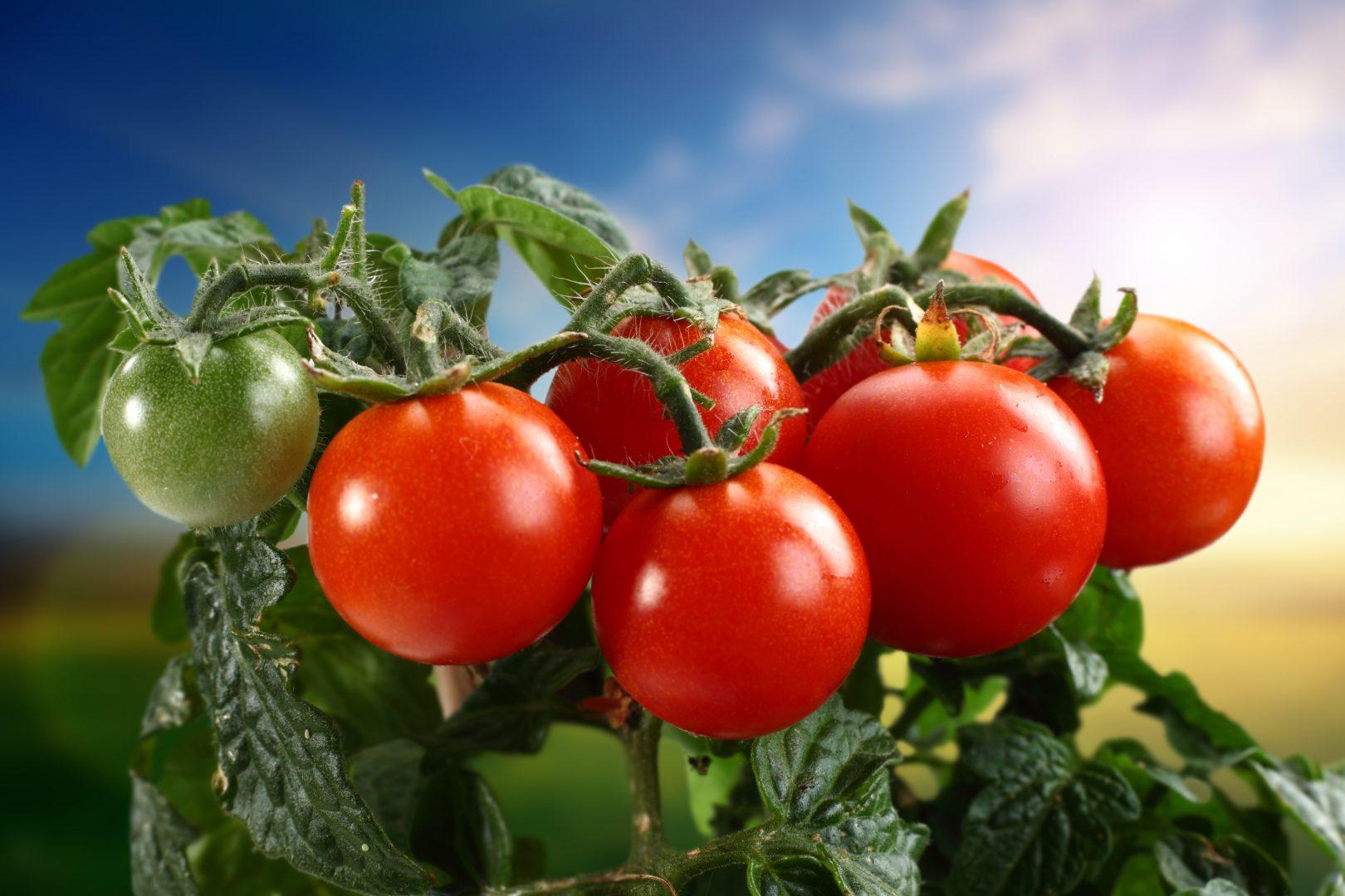 Como plantar tomate em garrafa pet