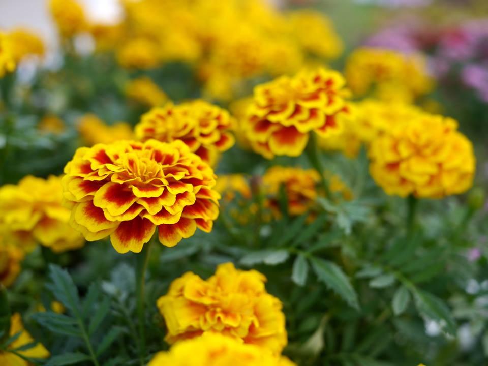 Descubra uma flor que além de linda é comestível