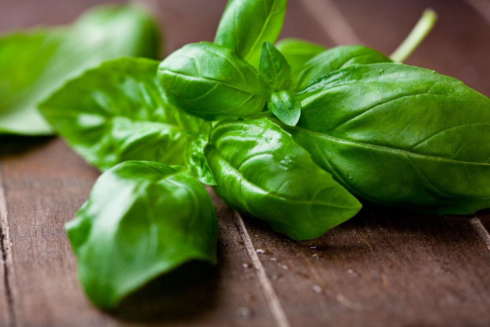 Conheça os benefícios e propriedades do chá de manjericão