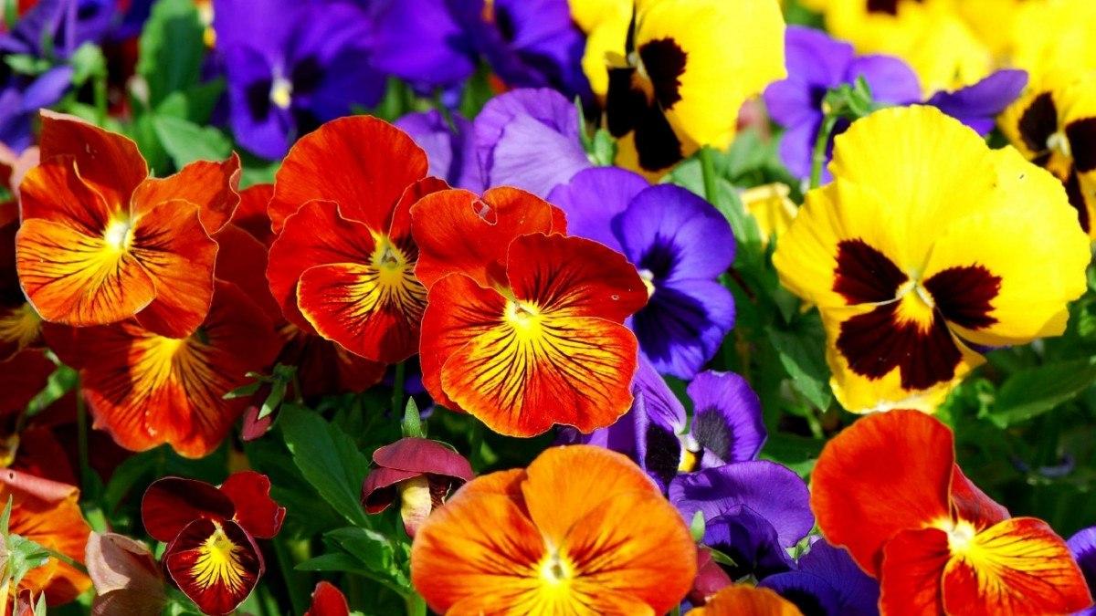 Como plantar amor-perfeito