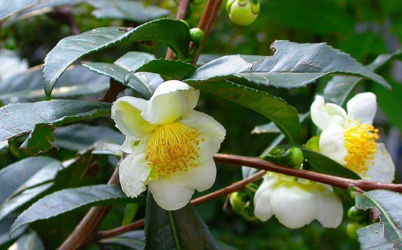 As folhas de Caméllia Sinensis e seu poderoso Chá Verde