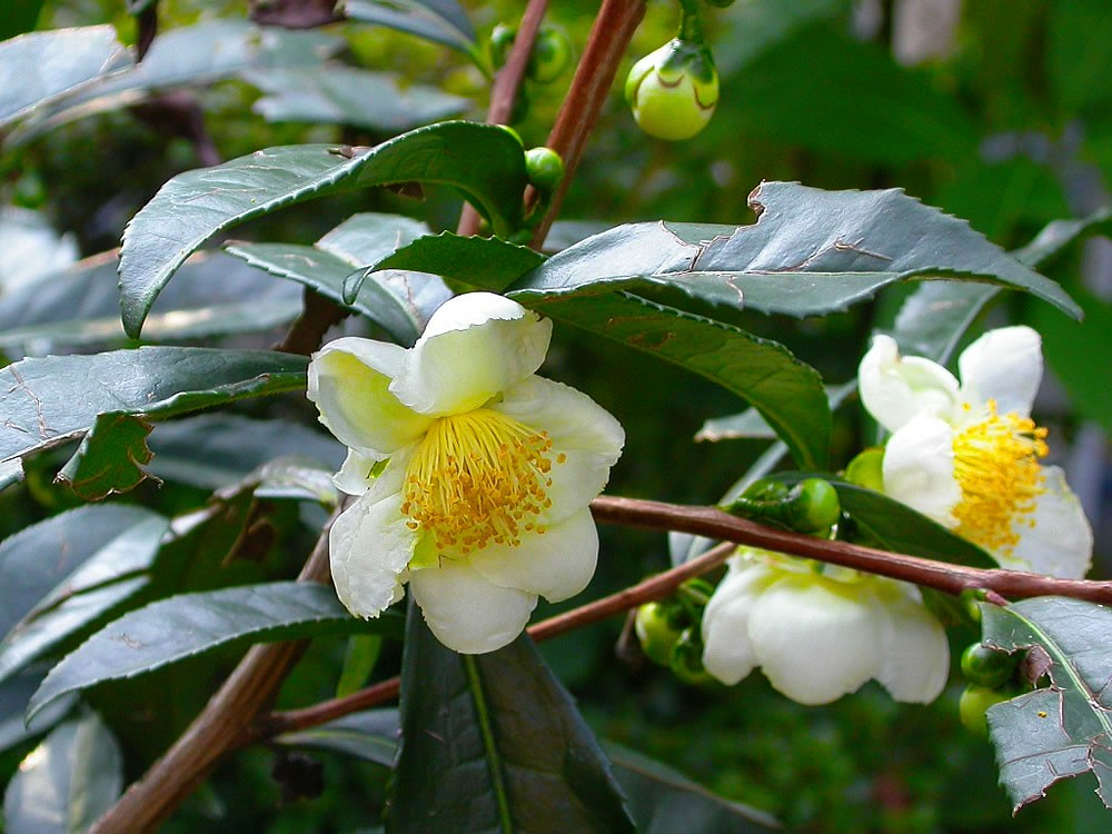 As folhas de Caméllia Sinensis e seu poderoso Chá Verde | Blog da ...
