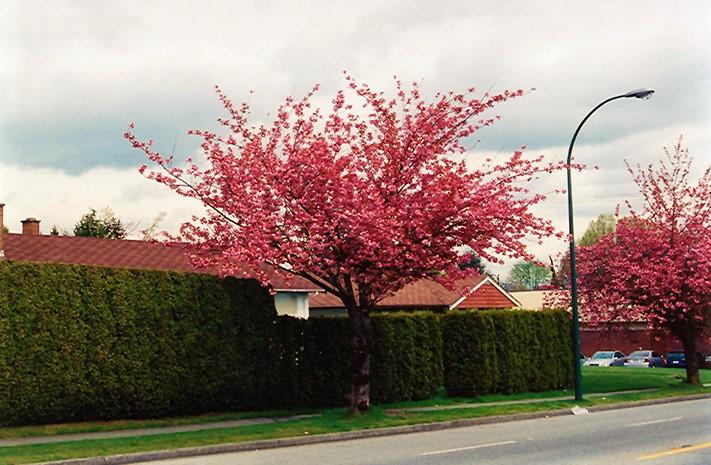 árvore para plantar na calçada