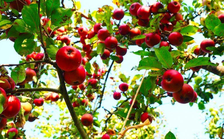 Use FORTH Frutas e triplique a produção de suas frutíferas
