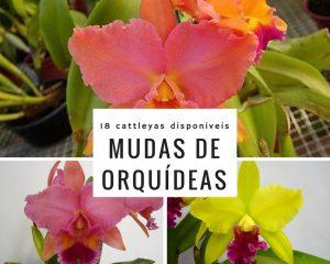 Mudas de Orquídeas