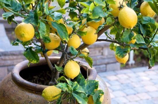 frutíferas em vaso-arvores-limao