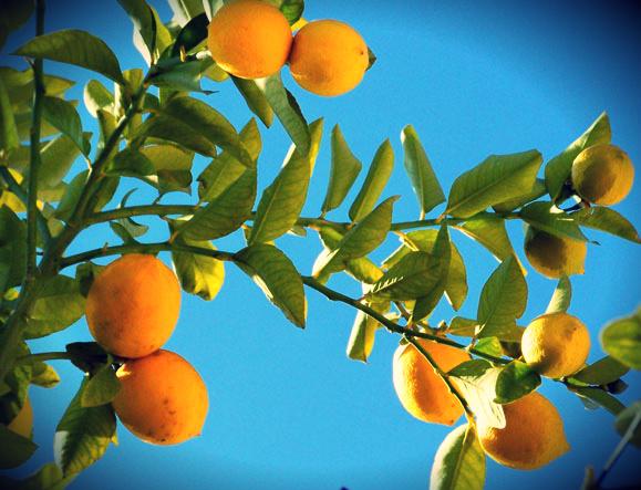 frutíferas em vaso-limao-galeria