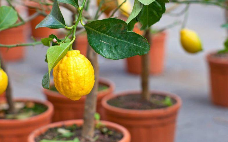 Como plantar frutíferas em vasos