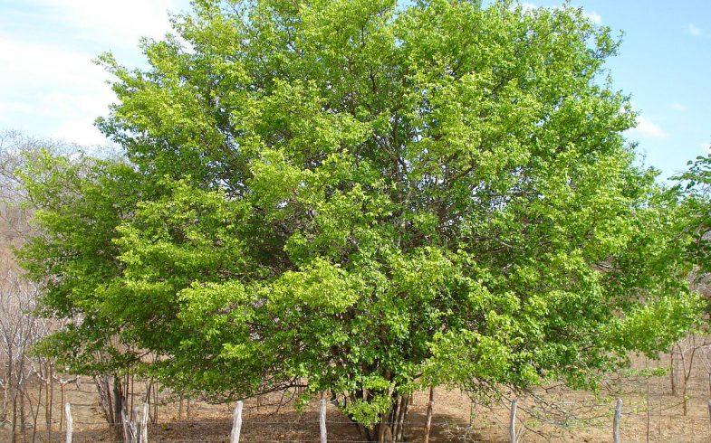 10 tipos de árvores mais comuns no Brasil