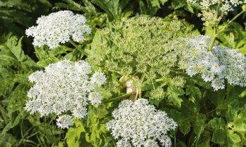 Ambrósia: a planta assassina
