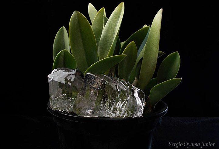 Posso regar orquídeas com gelo?