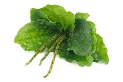 Uma das plantas mais poderosas: Cura inflamações e limpa os pulmões!