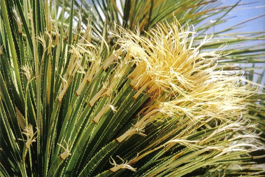 dasilirio - plantas resistentes ao sol