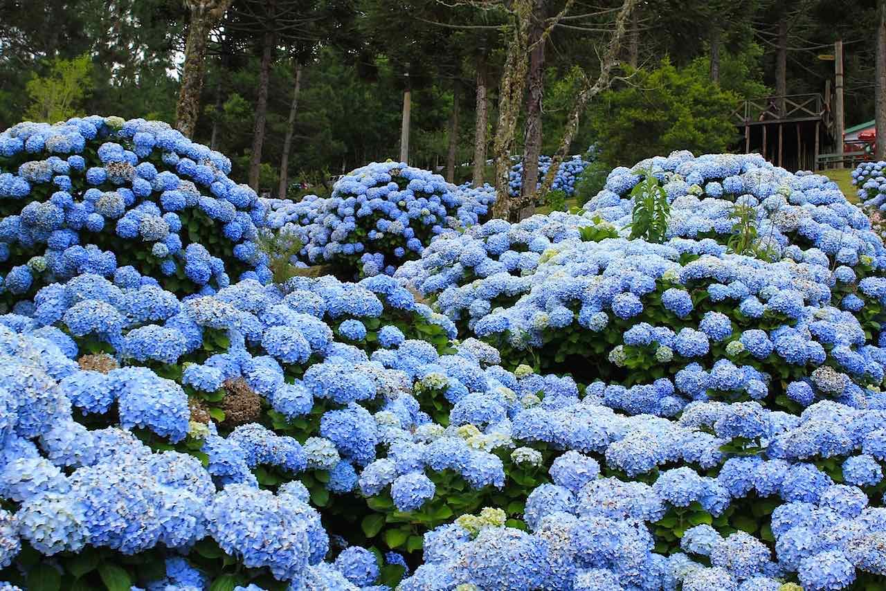 Hort nsia como cultivar essa linda flor azul blog plantei - Como podar la hortensia ...