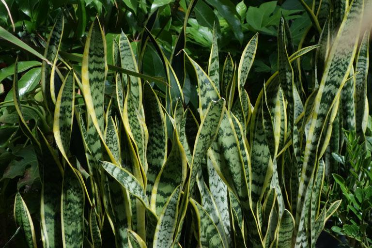 espada de são jorge - plantas resistentes ao sol