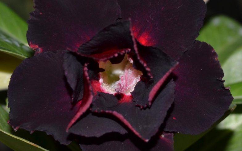 Rosa do Deserto na cor preta: Mito ou verdade?