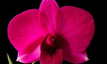 O mito da orquídea Denphal, cruzamento entre DendrobiumxPhalaenopsis