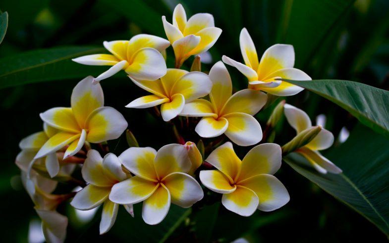 Como plantar e cultivar jasmim-manga