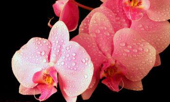5 segredos para regar suas orquídeas