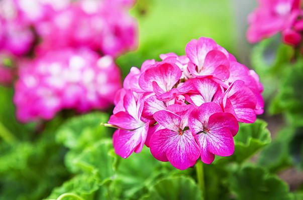flores para plantar no verão