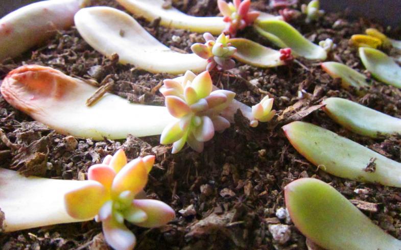 Como fazer mudas de suculentas – Métodos de propagação