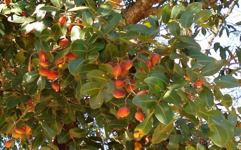 Benefícios e propriedades da copaíba