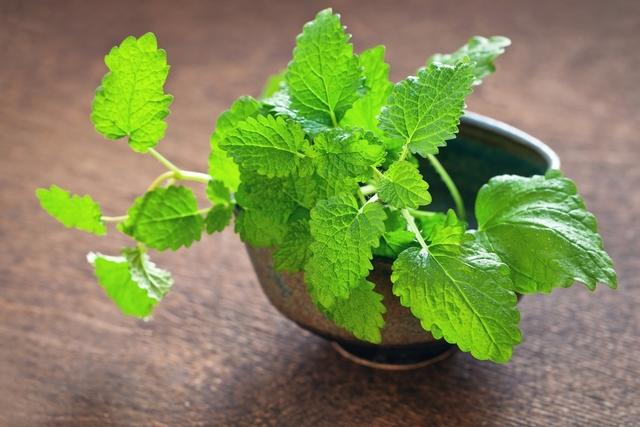 Benefícios e propriedades da erva-cidreira
