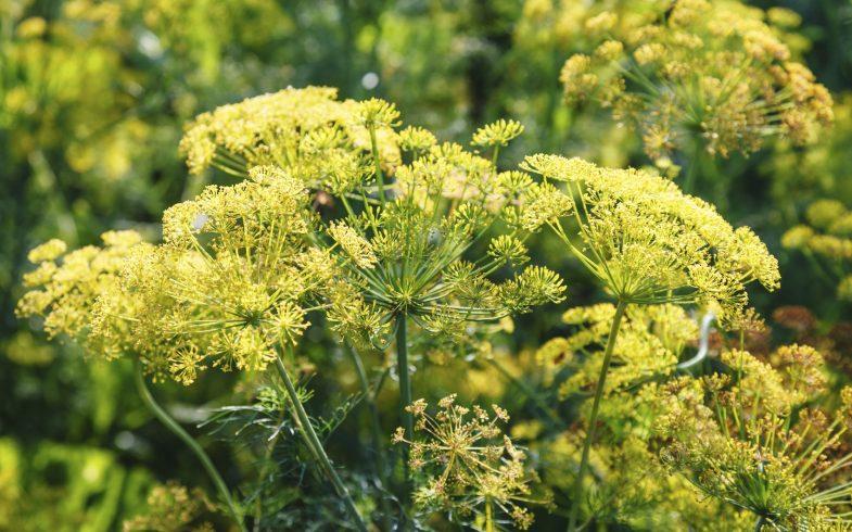 Benefícios e propriedades da erva-doce