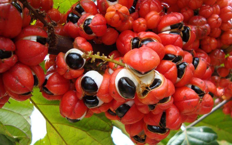 Benefícios e propriedades do guaraná