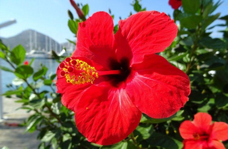 Benefícios e propriedades do hibisco