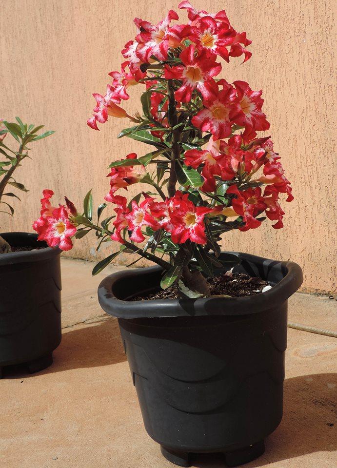 cultivar rosas do deserto