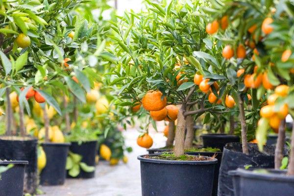 12 frutíferas para cultivar em vasos