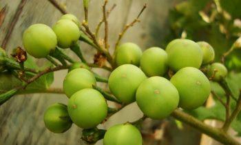 Benefícios e propriedades da jurubeba