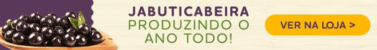 jabuticabeira híbrida produzindo