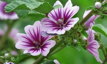 Conheça os benefícios e propriedades da Malva-Rosa