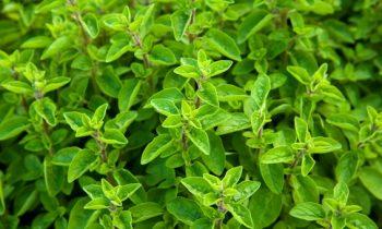 Benefícios e propriedades da manjerona