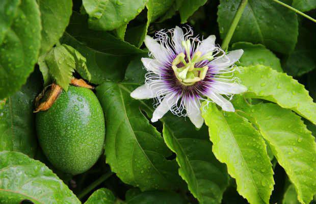 Benefícios e propriedades da passiflora ou maracujá