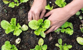 Como plantar hortaliças em casa?