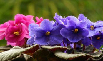 Como cultivar violetas: tudo  que você precisa saber sobre a planta