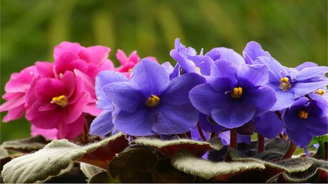 como_cultivar_violetas_1