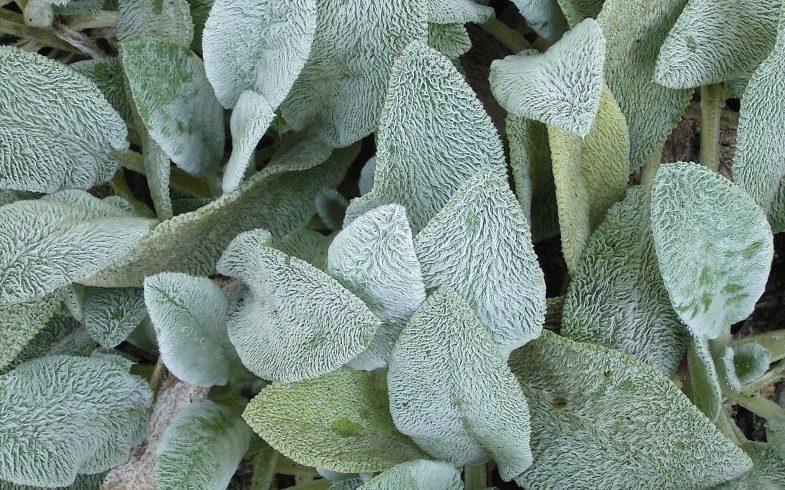 Peixinho da horta: aprenda sobre o cultivo dessa planta rica em fibras